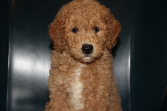 Try These F1bb Goldendoodle Texas {Mahindra Racing}